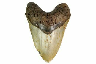 Carcharocles megalodon - Fossils For Sale - #164898
