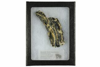 Mammuthus columbi - Fossils For Sale - #165114