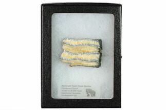 "Buy 3.2"" Mammoth Molar Slice with Case - South Carolina - #165109"