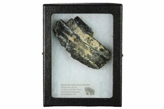 "Buy 1.8"" Mammoth Molar Slice with Case - South Carolina - #165124"