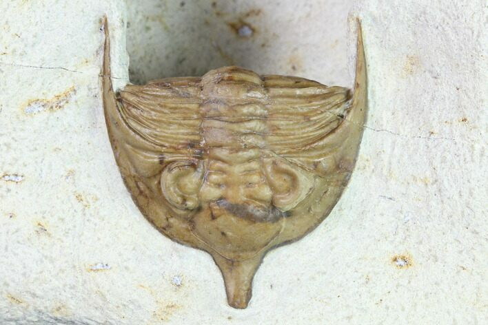 "2.3"" Huntonia Trilobite - Black Cat Mountain, Oklahoma"