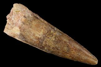 "2.15"" Spinosaurus Tooth - Real Dinosaur Tooth For Sale, #169622"