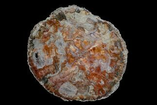 "17.2"" Colorful Petrified Wood (Araucaria) Round - Madagascar  For Sale, #170429"