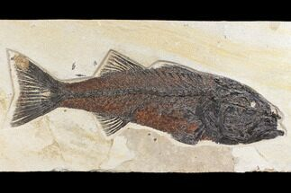 "15.6"" Uncommon Fish Fossil (Mioplosus) - Wyoming For Sale, #172946"