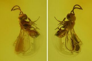 Tiny Fossil Wasp (Hymenoptera) In Baltic Amber For Sale, #173669