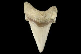 "1.89"" Serrated Fossil Auriculatus Tooth - Sarysu River, Kazakhstan For Sale, #173798"