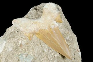 "Buy 2.75"" Otodus Shark Tooth Fossil in Rock - Eocene - #174160"