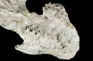 "7"" Fossil Oreodont (Merycoidodon) Skull - Wyoming For Sale, #174374"