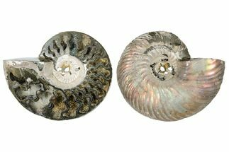 "Buy 2.35"" One Side Polished, Pyritized Fossil, Ammonite - Russia - #174982"