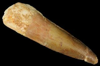 "1.9"" Spinosaurus Tooth - Real Dinosaur Tooth For Sale, #174761"