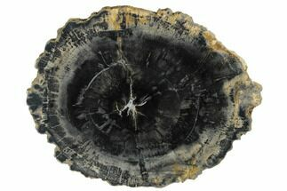 "Buy 9.6"" Polished Petrified Wood (Araucaria) Round - Arizona - #175270"