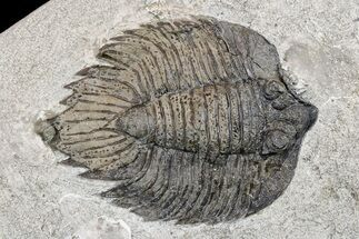 "Buy 3.8"" Elegant, Lichid Trilobite (Arctinurus) - Middleport, New York - #175624"