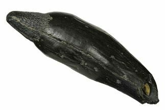 "Buy 3.9"" Fossil Sperm Whale (Scaldicetus) Tooth - South Carolina - #175999"