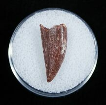 Buy Dromaeosaur/Raptor Tooth From Morocco - #2029