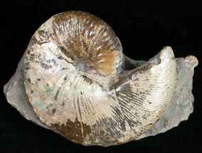 "Buy 2.6"" Iridescent Hoploscaphities Comprimus - South Dakota - #12097"