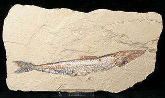Prionolepis cataphractus - Fossils For Sale - #16449