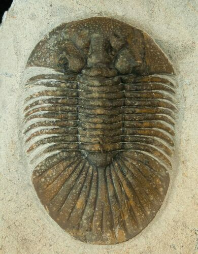 "2.1"" Bumpy Platyscutellum Trilobite With Axial Spines"