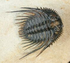 "Buy Big 1.4"" Leonaspis Trilobite With Free-Standing Spines - #17290"