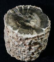 Triassic Aged Woodworthia Petrified Wood Log - 8.2 lbs For Sale, #19268