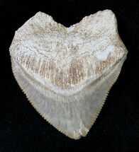 Large Squalicorax (Crow Shark) Fossil Tooth For Sale, #19274