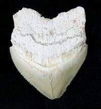 Large Squalicorax (Crow Shark) Fossil Tooth For Sale, #19283