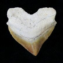 Nice Squalicorax (Crow Shark) Fossil Tooth For Sale, #19286