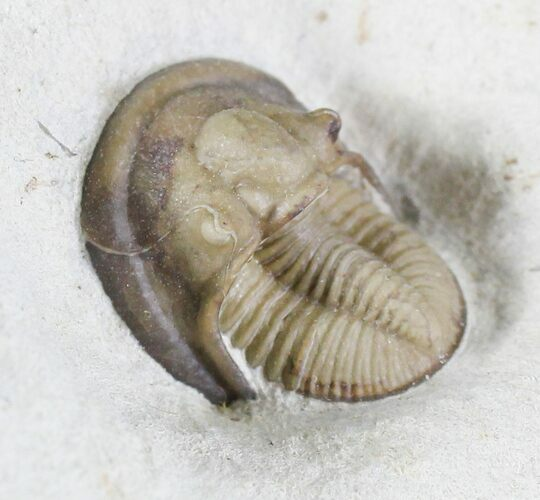 Exceptional Cordania Trilobite - Black Cat Mountain