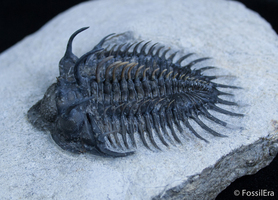 A Tale Of Two Comura - Reconstructed Trilobite Spines