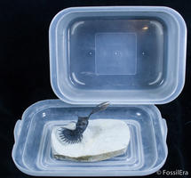 How To Secure A Spiny Trilobite For Transport