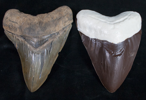 New Product: Giant Chocolate Megalodon Teeth