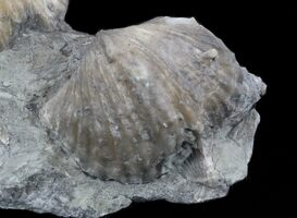 Kentucky State Fossil - The Brachiopod