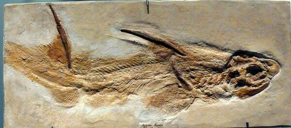 A complete fossil of Hybodus from Germany showing placement of spine.  Image under GNU Free Documentation License