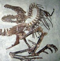 "Sub-adult Gorgosaurus specimen in ""death pose"" at theRoyal Tyrrell Museum of Palaeontology."