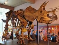 Triceratops skeleton Natural History Museum of Los Angeles County. Photo: Allie Caulfield