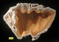 Fossil_agatized_coral_florida