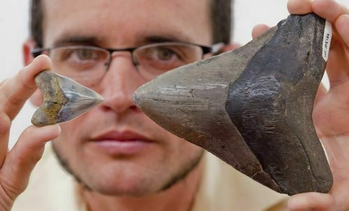 University of Florida vertebrate paleontology graduate student Dana Ehret holds a juvenile and adult Megalodon tooth up for comparison.