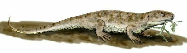 Artists reconstruction of Captorhinus aguti by Nobu Tamura (http://spinops.blogspot.com)