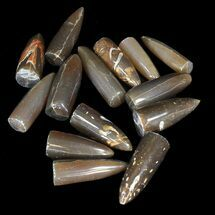 Bulk Polished Belemnites - 25 Pack