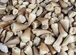 Bulk Fossil Mosasaur Teeth - 10 Pack - Photo 2