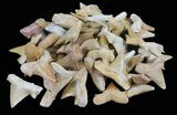 "3/4 to 1"" Fossil Shark (Serratolamna) Teeth - 10 Pack - Photo 2"