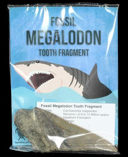 "Real Fossil Megalodon Partial Tooth - 4""+ Size - Photo 1"