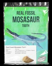 Real Fossil Mosasaur Tooth (Packaged)