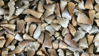 Wholesale Lot: Small Fossil Mosasaur Teeth - 1,000 Pieces