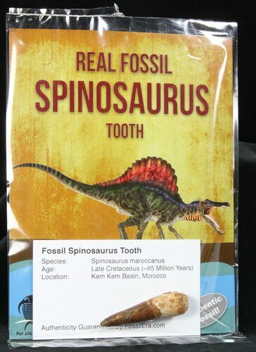 "Wholesale: 1-2"" Fossil Spinosaurus Teeth (Packaged) - 10 Pieces - Photo 1"