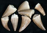"Small Fossil Mosasaur Teeth (3/4"" to 1 1/4"") - Photo 2"