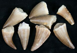 "1"" Fossil Mosasaur Teeth - 5 Pack"