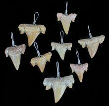 Wire Wrapped, Fossil Shark (Serratolamna) Tooth Pendants