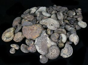 Small Pyritized Ammonite Fossils - 3oz (~25 pieces)