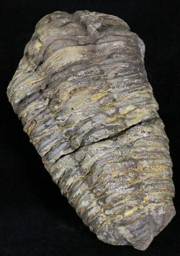 Calymene Trilobite From Morocco - Large Size