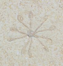 Floating Crinoid (Saccocoma) - Solnhofen Limestone For Sale, #22472